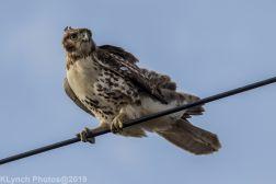 Hawk_80
