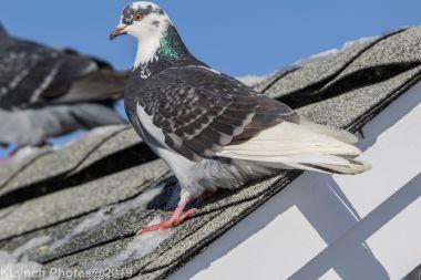 Pigeons_10
