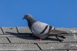 Pigeons_7