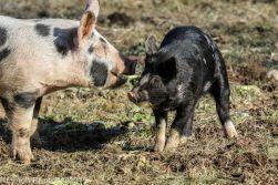 Pigs_1
