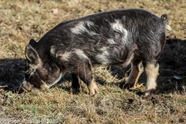 Pigs_10