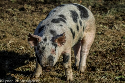 Pigs_11