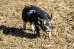 Pigs_12