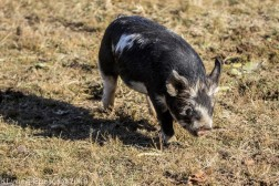 Pigs_13