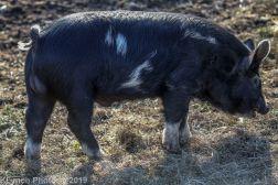 Pigs_14