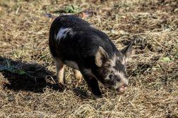 Pigs_15