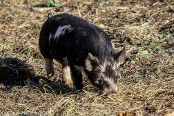 Pigs_16