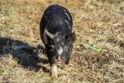Pigs_17