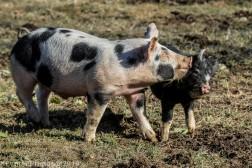 Pigs_2