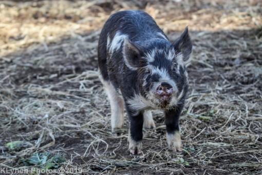 Pigs_22