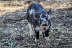 Pigs_23