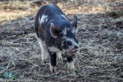 Pigs_24