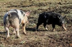 Pigs_4