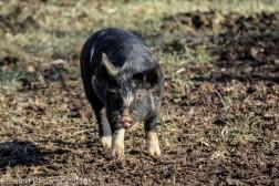 Pigs_5