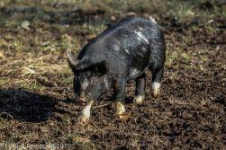 Pigs_7