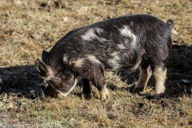 Pigs_9