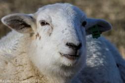 Sheep_3