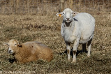 Sheep_9