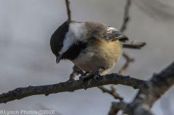 Chickadee_3
