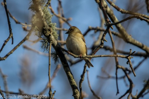 Godfinch
