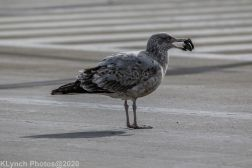 Gull_7