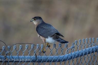 Hawk_20