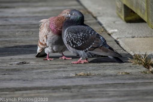 pigeons_11