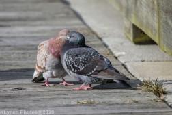 pigeons_12