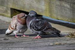 pigeons_13
