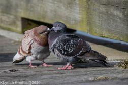 pigeons_14