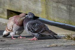 pigeons_15