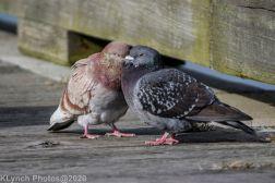 pigeons_16