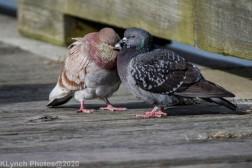 pigeons_17