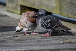 pigeons_18
