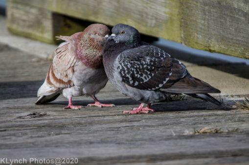 pigeons_19