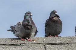 pigeons_2