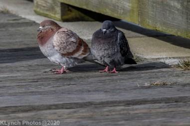 pigeons_20