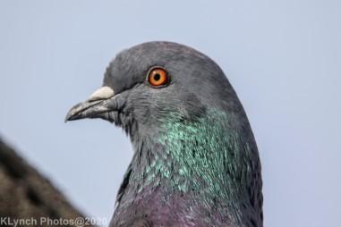 pigeons_21
