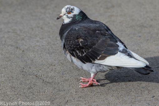 pigeons_22