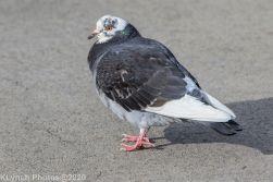 pigeons_23