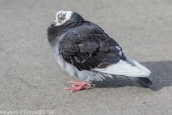 pigeons_24