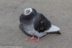 pigeons_26