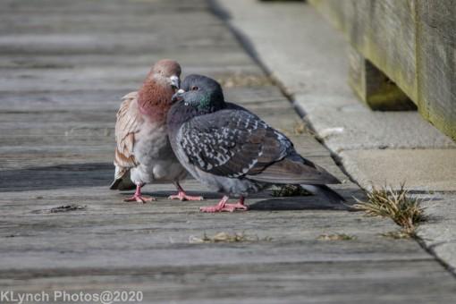 pigeons_8