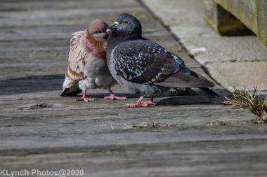 pigeons_9