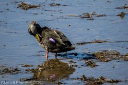 BlackDuck_3