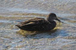BlackDuck_5