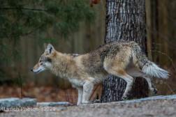 Coyote_5