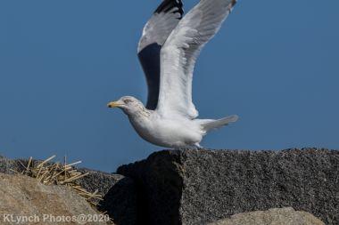 Gull_9