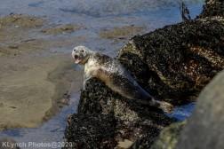 Seal_117