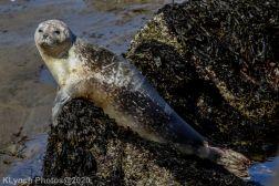 Seal_125